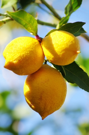how to get stinkbugs off citrus trees